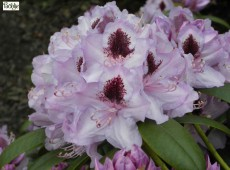 Rhododendron Hybride 'Humboldt'
