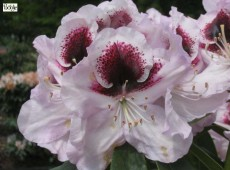 Rhododendron Hybride 'Hyperion'