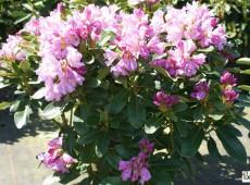Rhododendron Hybride 'INKARHO - Dufthecke lila'
