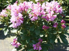 Rhododendron Hybride 'INKARHO - Dufthecke lila'