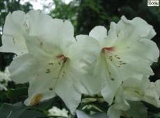 Rhododendron Hybride 'Inamorata'