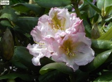 Rhododendron Hybride 'Janet Blair'