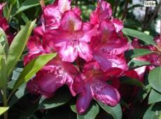 Rhododendron Hybride 'Junifeuer'