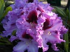 Rhododendron Hybride 'Kabarett' ®