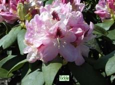 Rhododendron Hybride 'Lady Annette de Trafford'