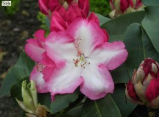 Rhododendron Hybride 'Lem's Monarch'