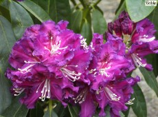 Rhododendron Hybride 'Lilofee'
