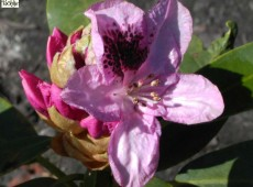 Rhododendron Hybride 'Marchioness of Landsowne'