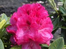 Rhododendron insigne 'Marianne von Weizsäcker'
