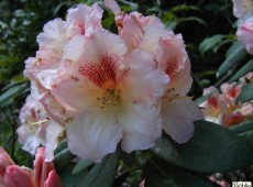 Rhododendron Hybride 'Marylou'