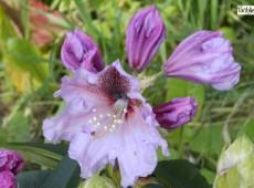 Rhododendron Hybride 'Mooreule'