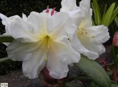 Rhododendron Hybride 'Morgenduft'