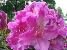 Rhododendron Hybride 'Mrs Davis Eavens'