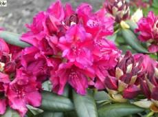 Rhododendron Hybride 'Mrs P. den Ouden'