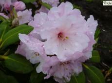 Rhododendron Hybride 'Naomi Glow'