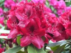 Rhododendron Hybride 'Negrito'