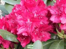 Rhododendron Hybride 'Nicoline'