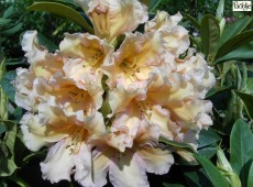 Rhododendron Hybride 'Norfolk Candy'