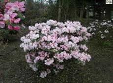 Rhododendron Hybride 'Obergärtner Robenek'