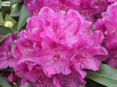 Rhododendron Hybride 'Old Port'