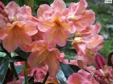 Rhododendron Hybride 'Olga'