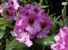Rhododendron Hybride 'Ornament'