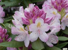 Rhododendron Hybride 'Parsons Gloriosum'