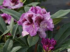Rhododendron Hybride 'Pfauenauge' (R)
