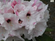 Rhododendron Hybride 'Platinum Pearl'