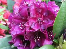 Rhododendron Hybride 'Polarnacht'