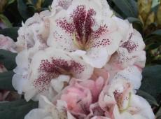 Rhododendron Hybride 'Prinses Maxima' -S-