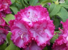 Rhododendron Hybride 'Professor Horst Robenek'