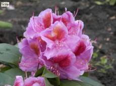 Rhododendron Hybride 'Puccini'