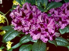 Rhododendron Hybride 'Purple Splendour'