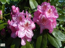 Rhododendron Hybride 'Queen Mary'