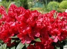 Rhododendron Hybride 'Rabatz' (R)