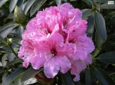 Rhododendron discolor 'Spätlese'
