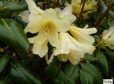 Rhododendron ambiguum 'Belinda'
