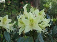 Rhododendron ambiguum