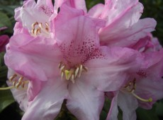 Rhododendron balfourianum