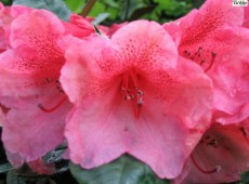 Rhododendron bureavii 'Hansel'