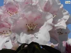 Rhododendron bureavii 'Hazel'