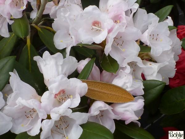 Rhododendron bureavii 'Hydon Velvet