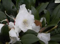 Rhododendron bureavii 'Teddy Bear'