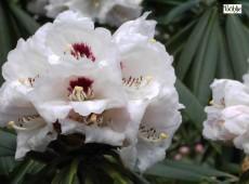 Rhododendron calophytum Sämling weiß