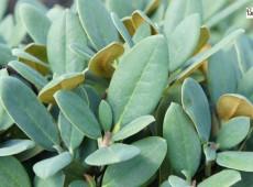 Rhododendron campanulatum aeruginosum 'Blauschimmer'