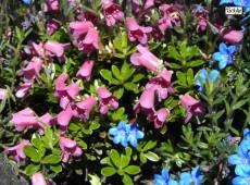 Rhododendron campylogynum var. myrtilloides