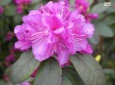 Rhododendron carolinianum 'P. J. M. Regal'