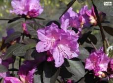 Rhododendron carolinianum 'P. J. Mezitt'