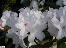 Rhododendron carolinianum 'Schneekoppe'